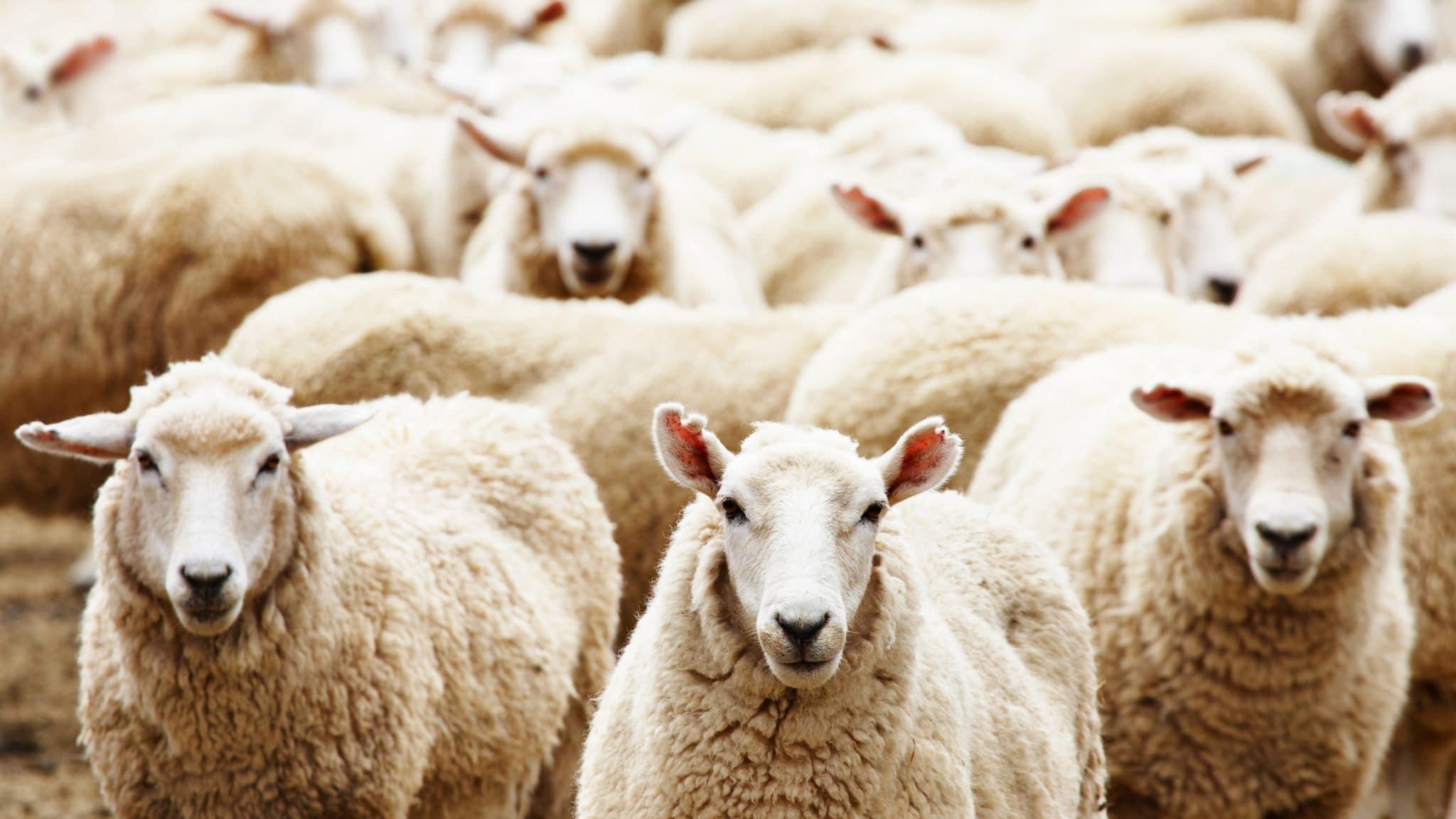 Herd of sheep, facing forward