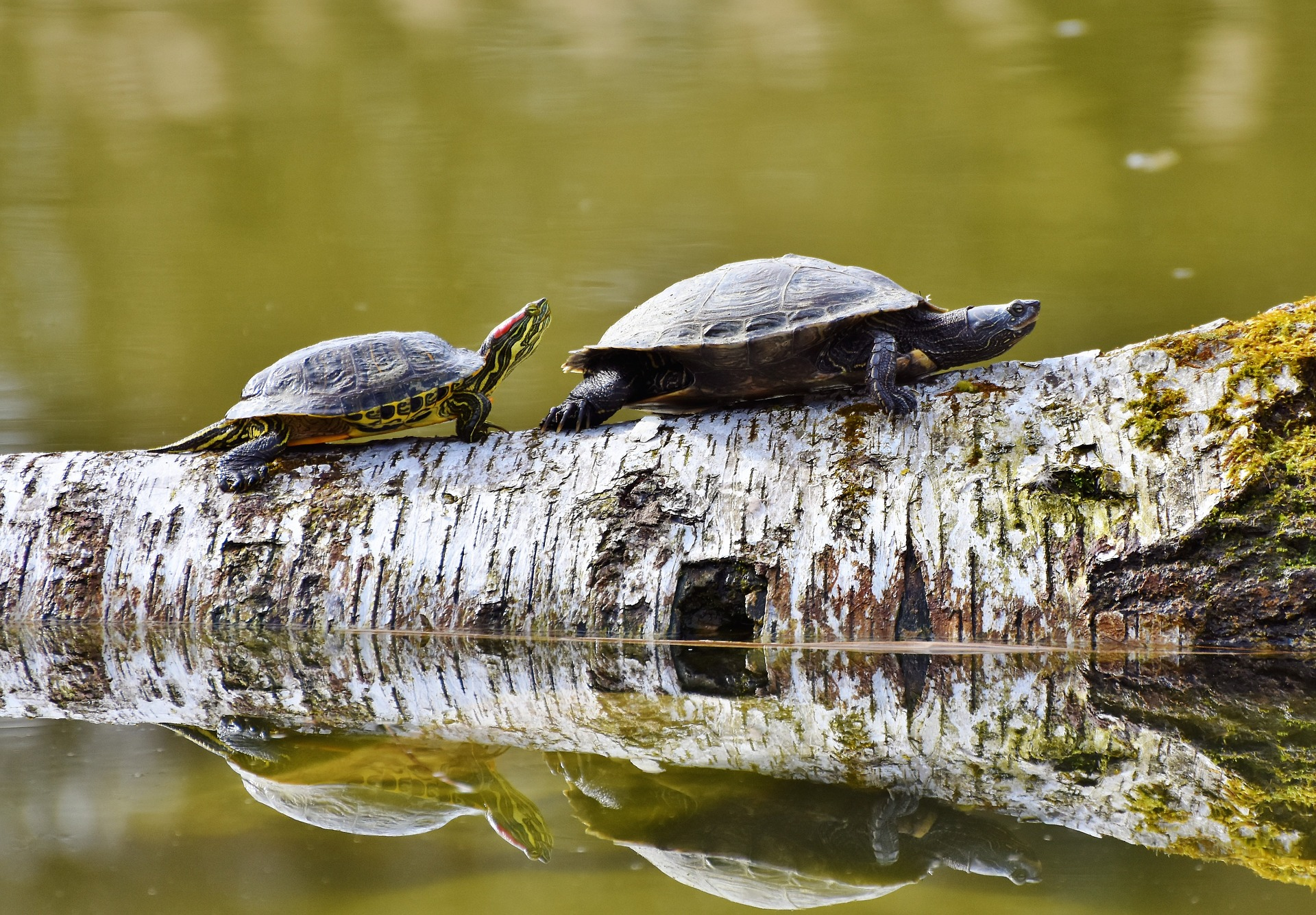 Two turtles, the front one larger, on a log that is partially in water, reflecting the turtles.